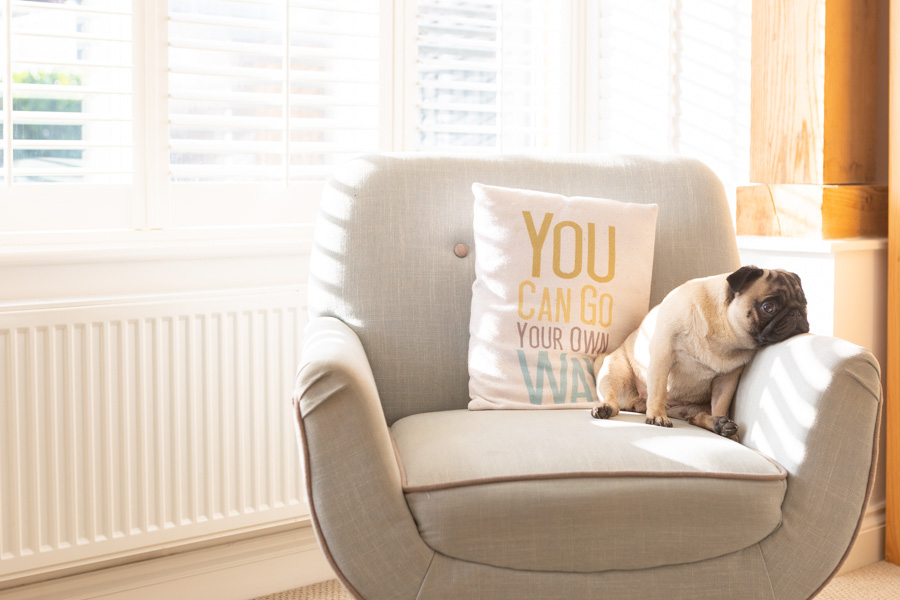 Pug on a chair